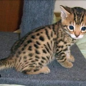 asian leopard cats