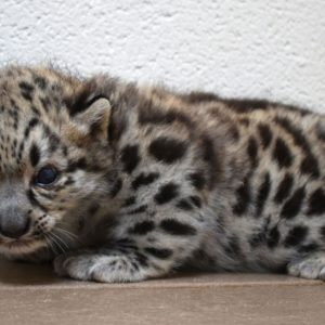 snow leopard cub for sale
