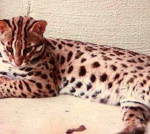 asian leopard cats for sale