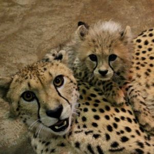 Cheetah For Sale
